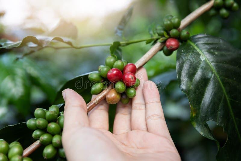 Chicco di caffè maturo della tenuta della mano, fagiolo del caffè Arabica del raccolto del lavoratore dalla pianta del caffè fotografie stock