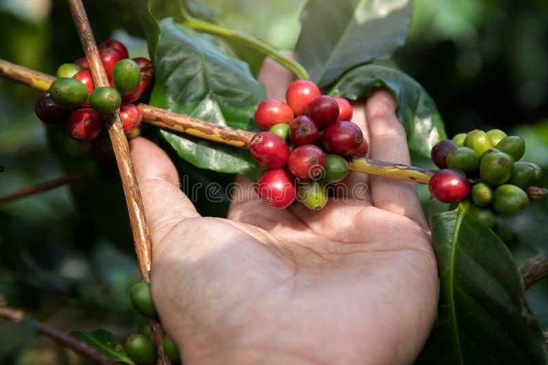 Chicco di caffè maturo della tenuta della mano, fagiolo del caffè Arabica del raccolto del lavoratore dalla pianta del caffè fotografia stock