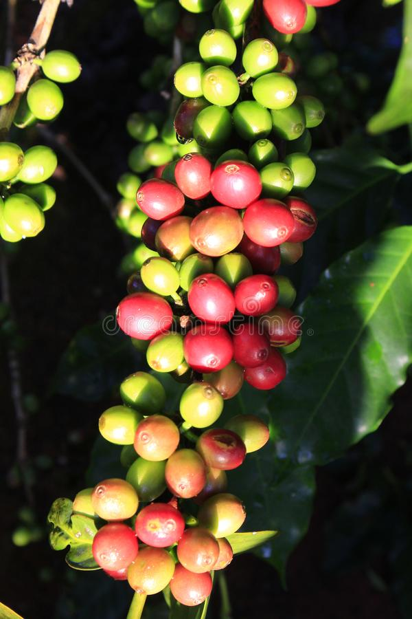 Chicco di caffè verde sulla pianta del caffè immagine stock libera da diritti