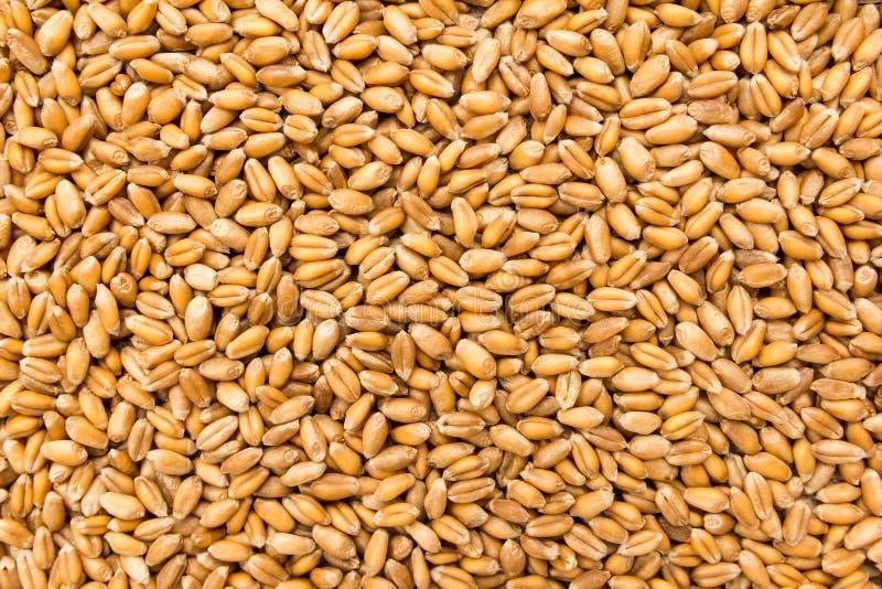 Chicco di grano del grano Primo piano dei grani, uso del fondo fotografia stock