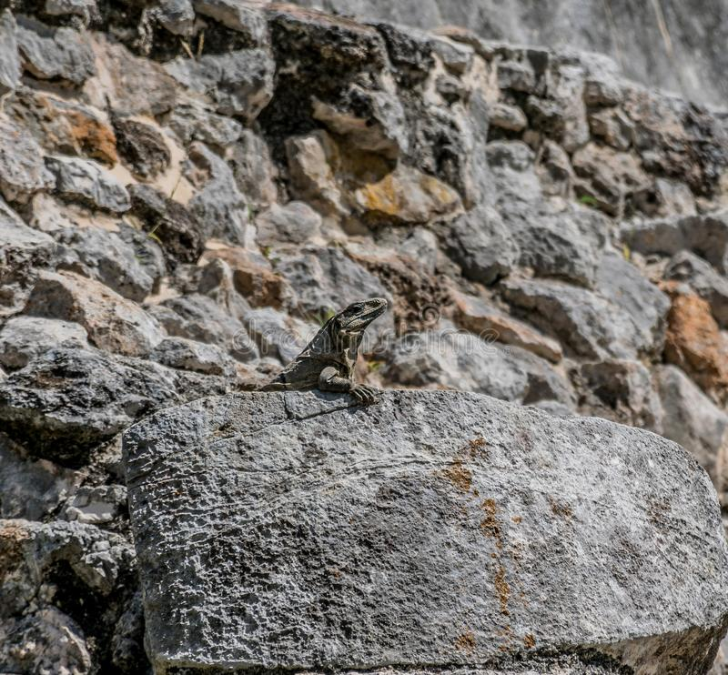 Iguana on the Temple of the Jaguars in Chichen Itza, Mexico stock photo