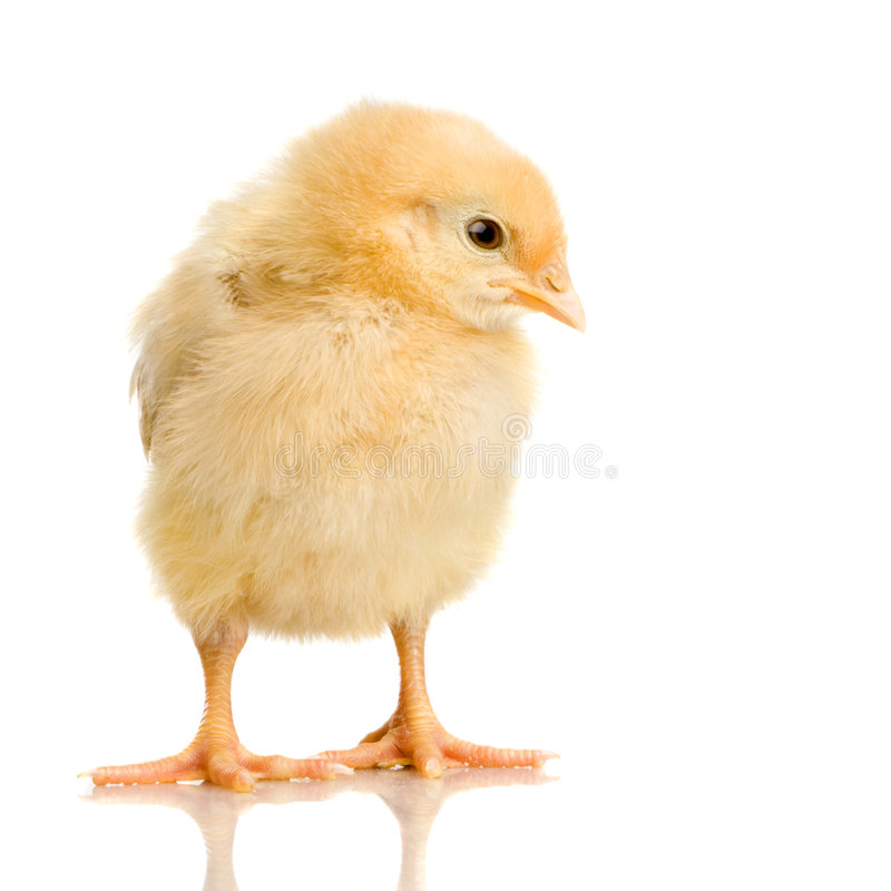 Free Chick Royalty Free Stock Images - 2248389