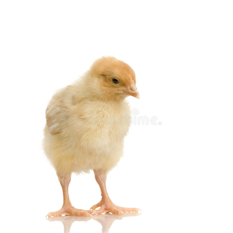 Download Chick Stock Images - Image: 2304594