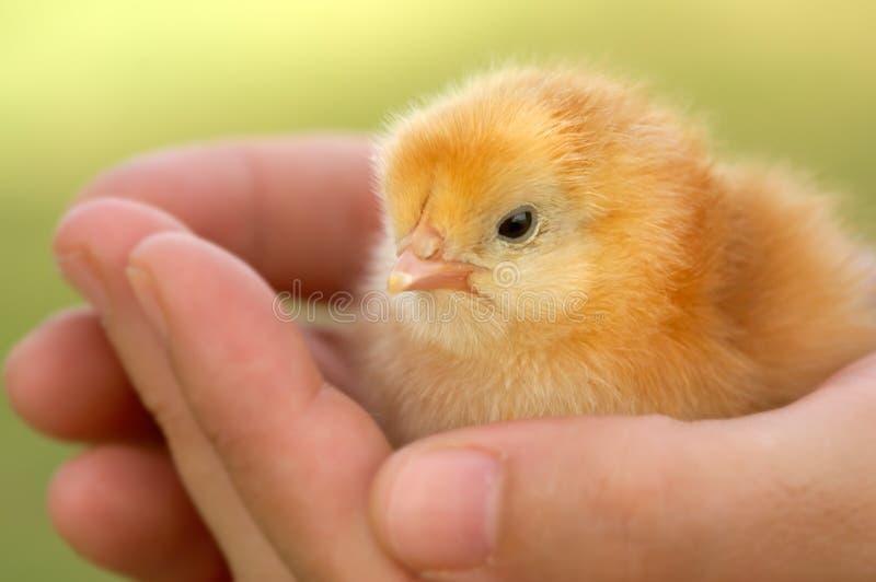 Chick. A chick new born