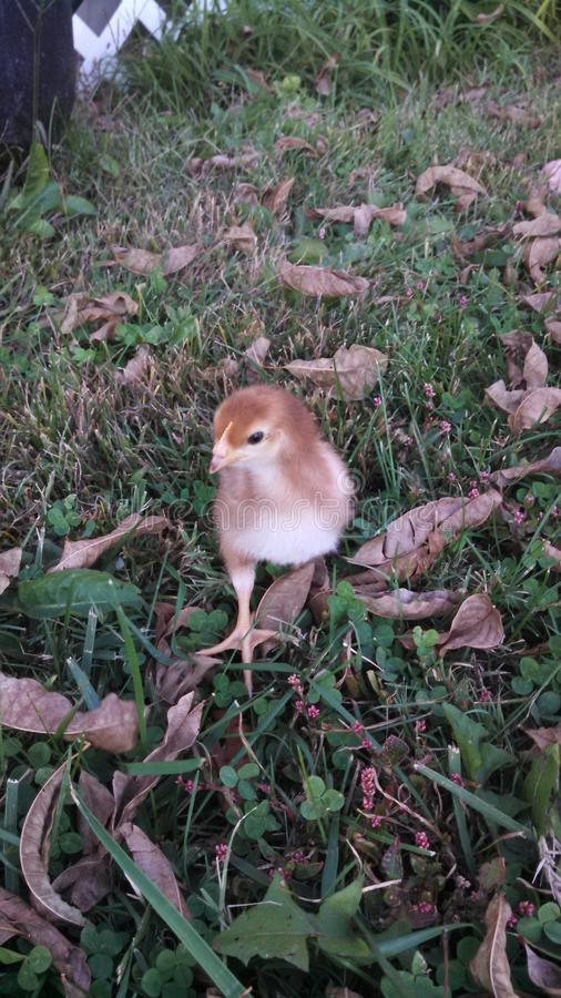 A Chick royalty free stock image