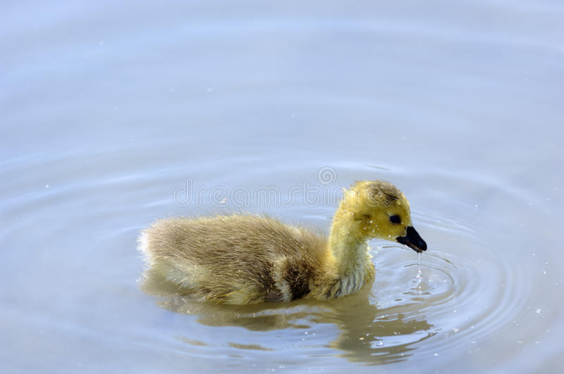 Chick of Canada goose royalty free stock image