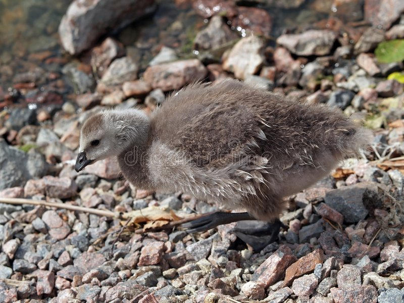A chick of Canada goose stock photo
