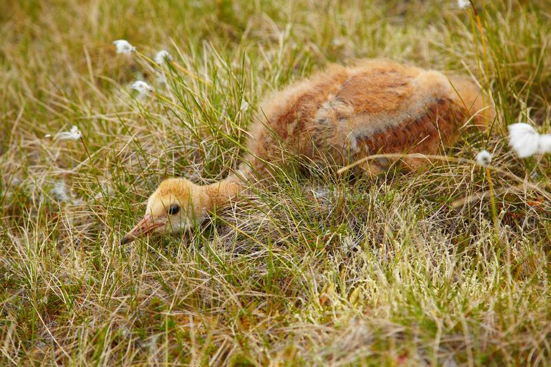 Chick of crane. Chick of gray crane (Grus grus) hiding under tundra cotton grass in Kolyma area of Yakutia stock images