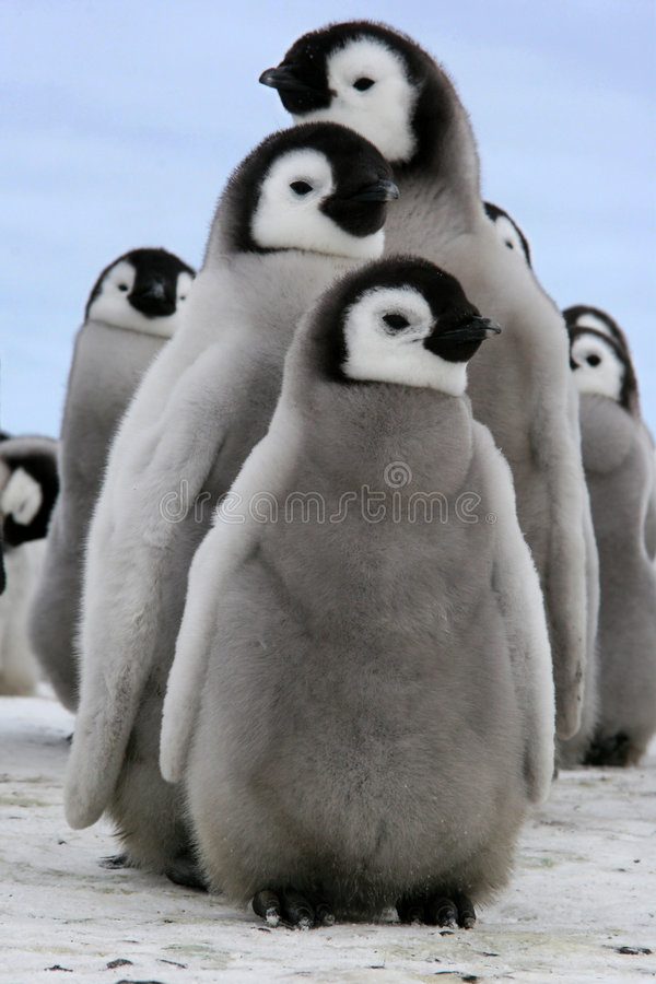 Chick (Emperor penguin) stock images