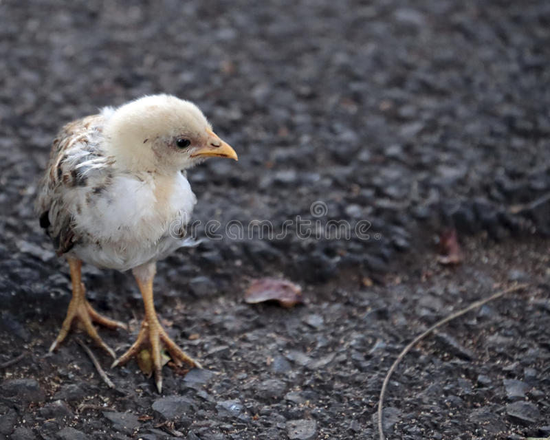 Chick. A feral junglefowl (gallus) chick searching the tarmac for food stock image