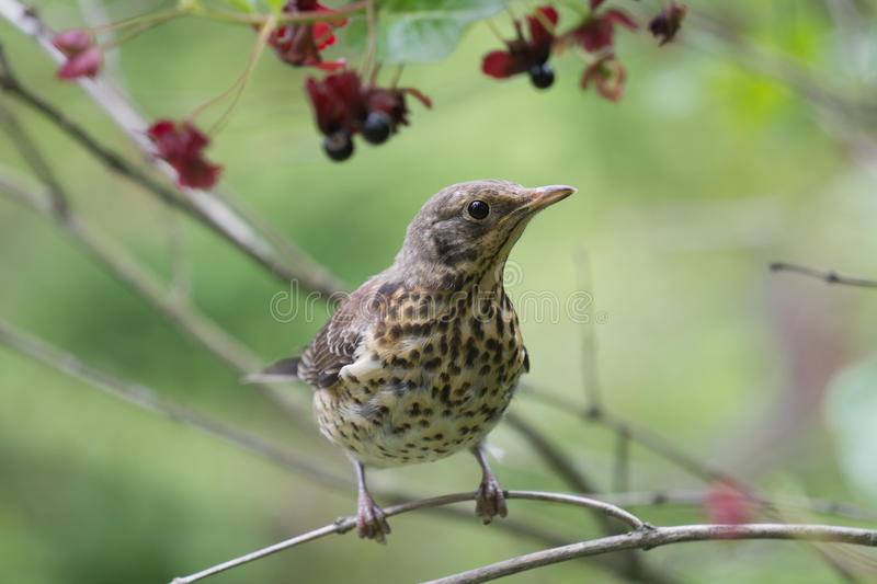 Download Chick of Fieldfare stock image. Image of infancy, baby - 25987981