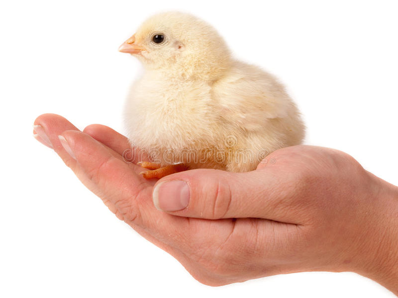 Chick on hand stock photo