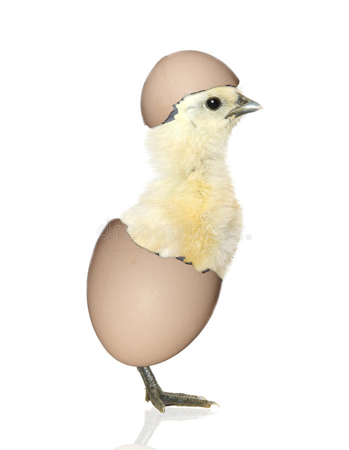 Chick hatching from egg. Fun yellow chick bird hatching from its egg against white royalty free stock photos