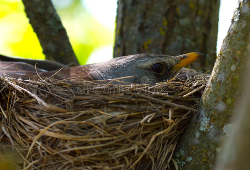 Download Chick in the nest stock image. Image of outdoors, birds - 30176825