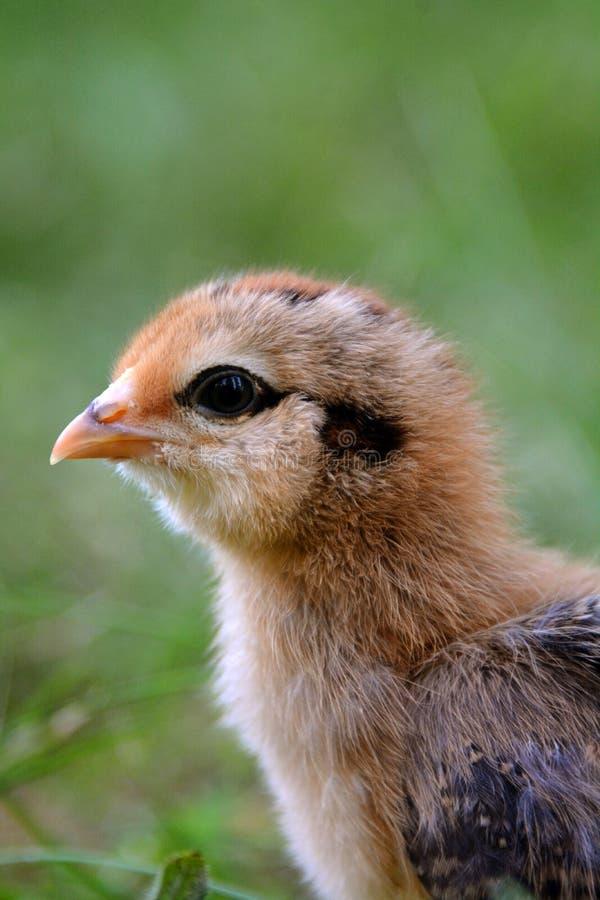 Chick Profile variopinto fotografie stock
