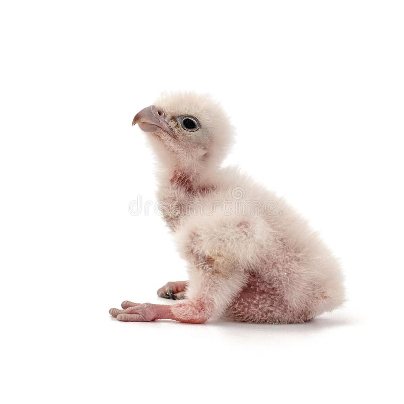 Chick Saker Falcon, Falco cherrug, op witte achtergrond wordt geïsoleerd die royalty-vrije stock foto's