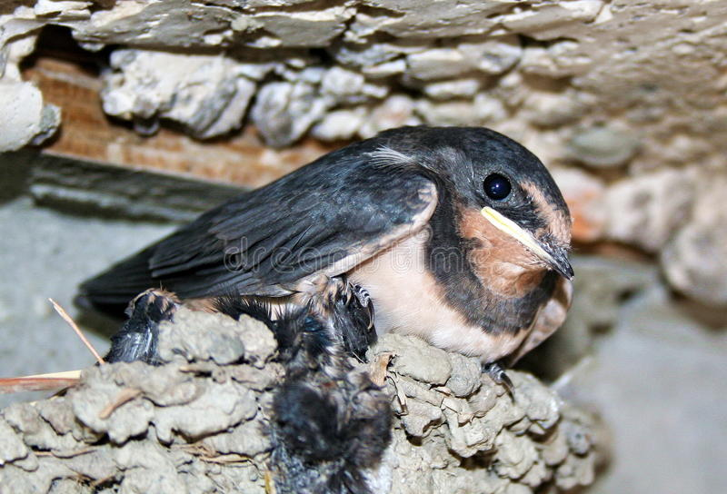 Chick swallows stock photo