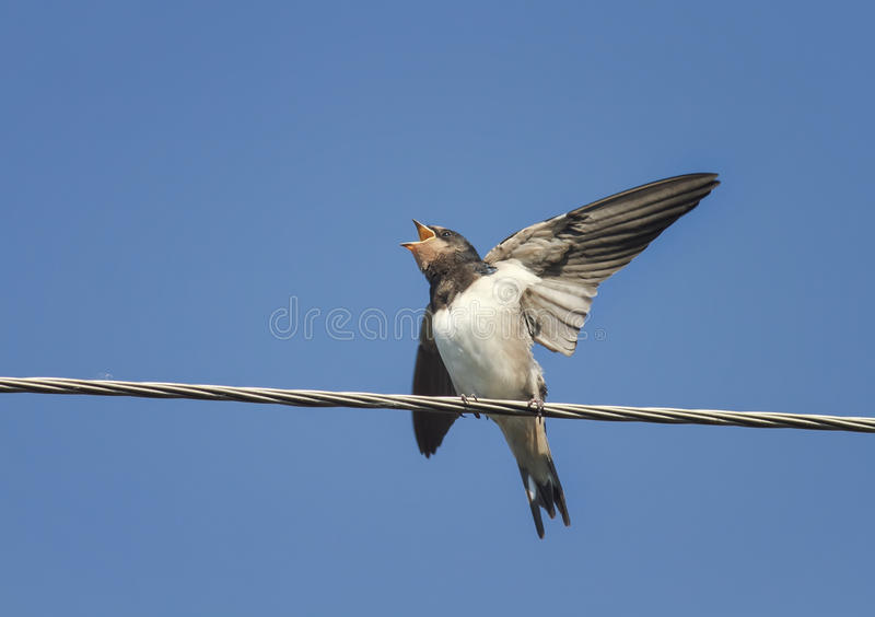 Chick swallows sitting with open beak and flapping it`s funny on the wires. Little chick swallows sitting with open beak and flapping it`s funny on the wires stock photos