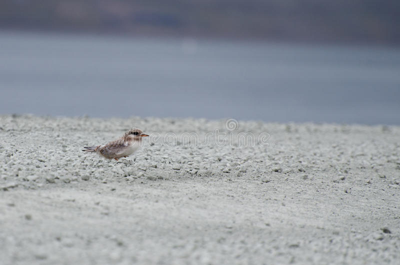 A chick of a tern, Longyearbyen Svalbard. This is a chick of a tern waiting for his parents and food ; Longyearbyen Svalbard. August 2017 stock photo