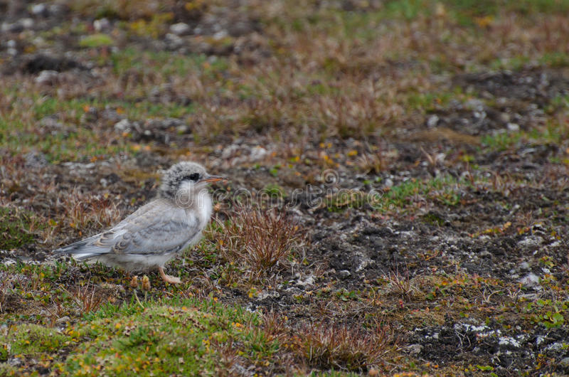 A chick of a tern, Longyearbyen Svalbard. This is a chick of a tern waiting for his parents and food ; Longyearbyen Svalbard. August 2017 royalty free stock photography