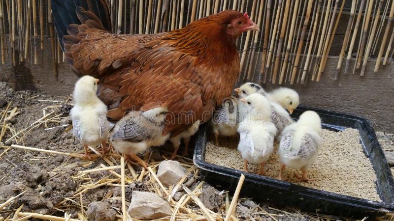Chick Thief stock photos