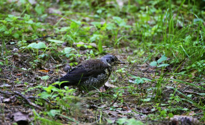 A small Blackbird-mountain ash walks among the thick green grass. The chick of the thrush, Fieldfare. A small Blackbird-mountain ash walks among the thick green stock image