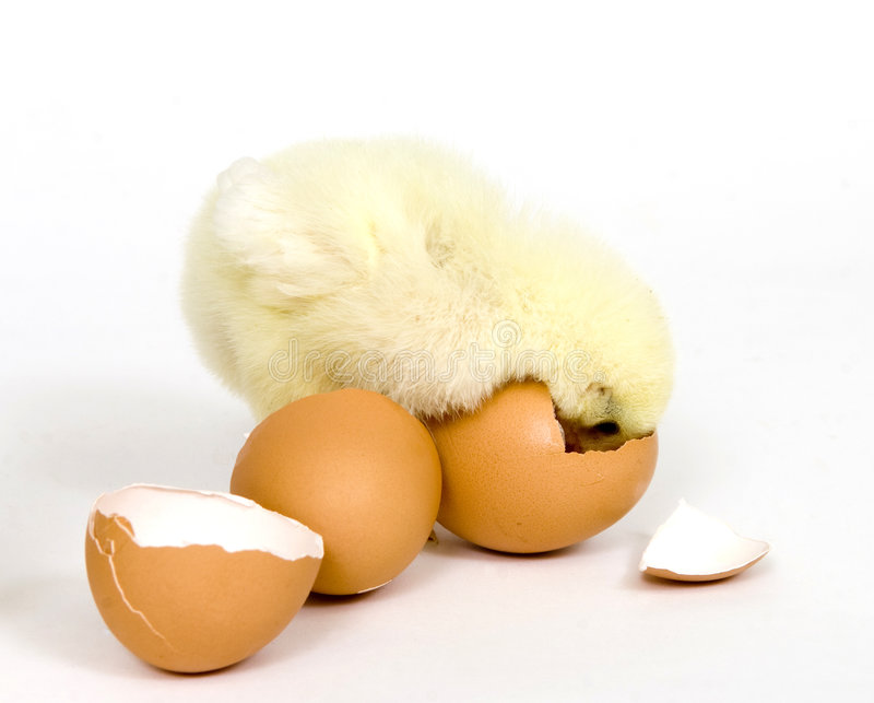 Download Chick That Wants Back In The Egg Stock Photos - Image: 4781163