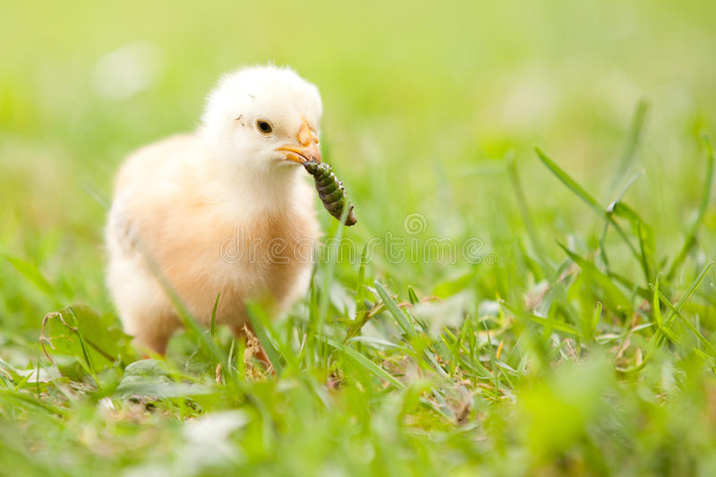 Chick with worm stock photos