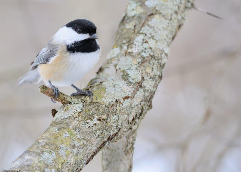 Download Chickadee покрынный чернотой Стоковое Фото - изображение насчитывающей древесины, рождений: 17619056