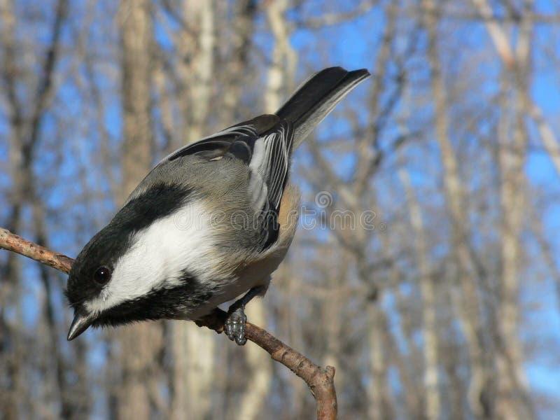 chickadee покрынный чернотой стоковые изображения