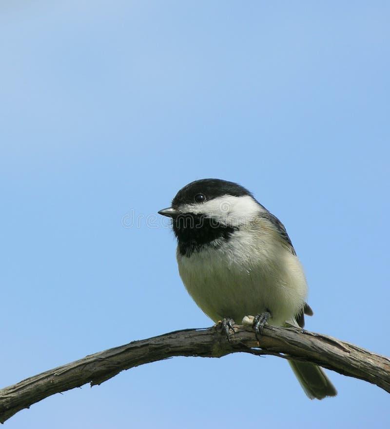 Download Chickadee στοκ εικόνα. εικόνα από δέντρο, σκαρφαλωμένος - 112949