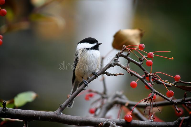 Download Chickadee stock photo. Image of background, bird, claw - 13088538