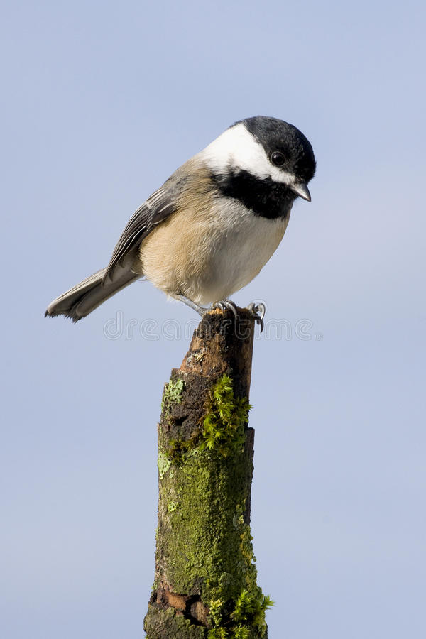 Chickadee photo libre de droits