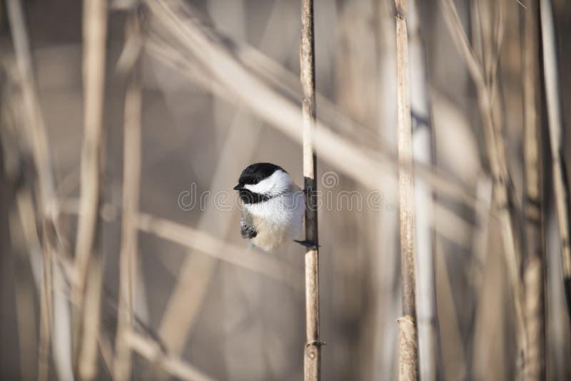 Chickadee appollaiato su un cattail immagine stock