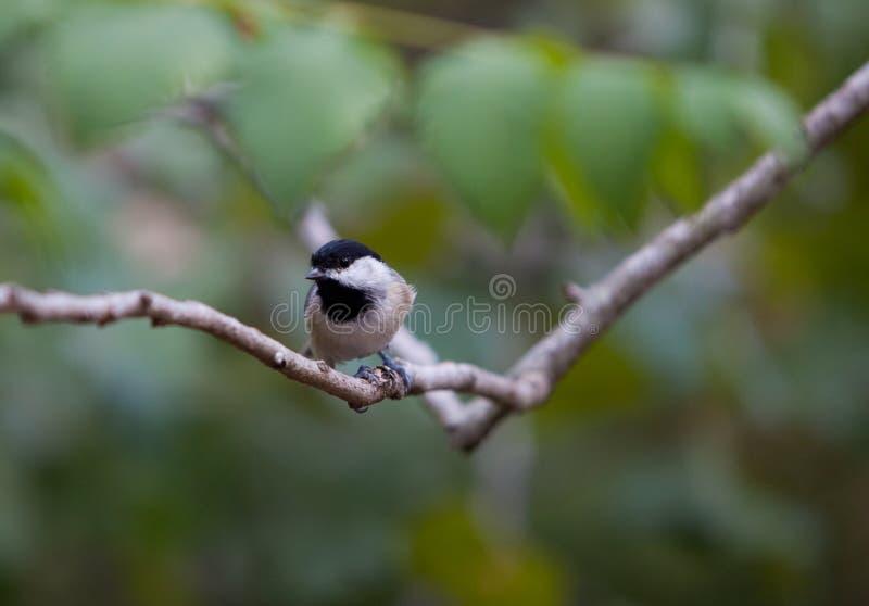 Download Chickadee auf einem Zweig stockfoto. Bild von fauna, carolina - 26357634