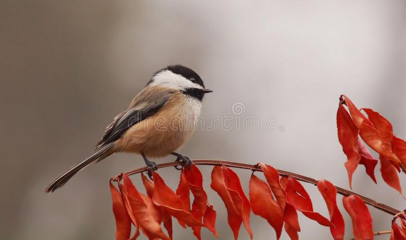 A Chickadee in Autumn royalty free stock photography