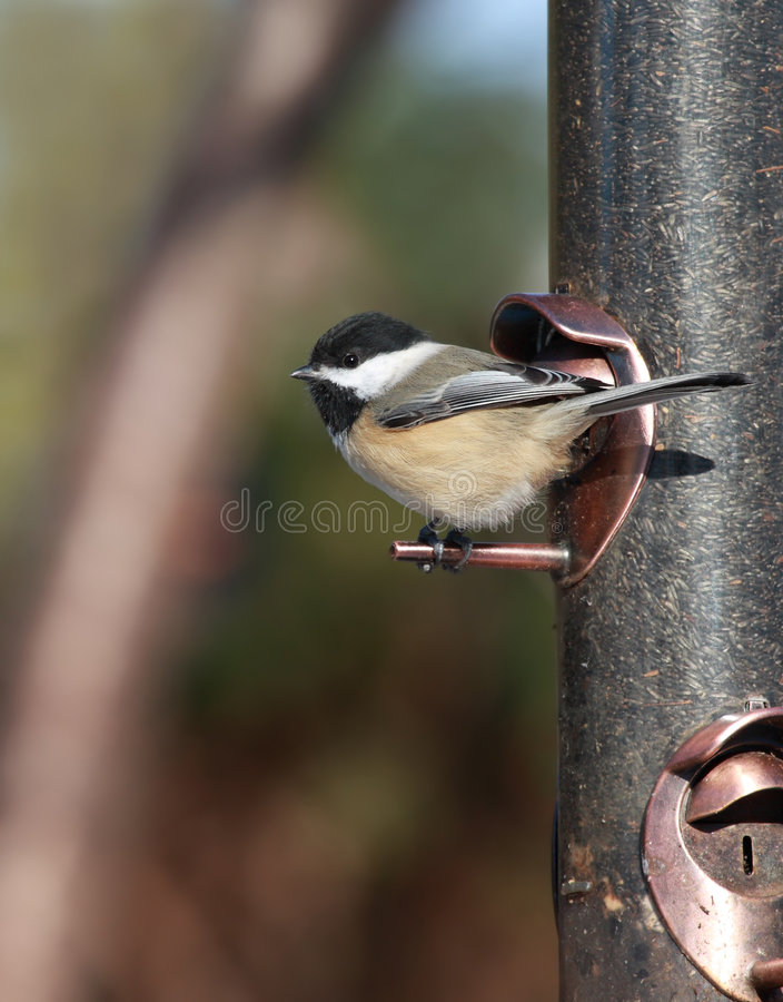 Chickadee bij vogelvoeder stock foto's