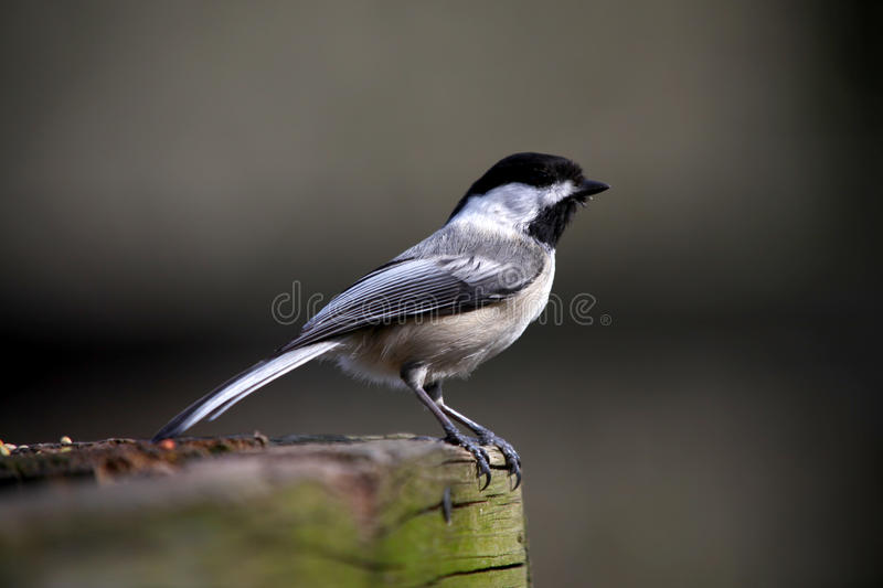 Download Chickadee bird stock photo. Image of atricapillus, white - 24458276