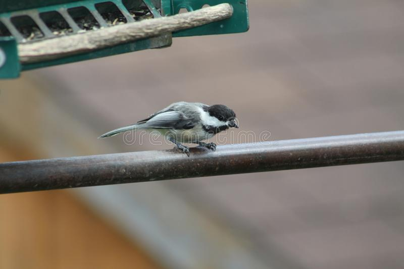 Chickadee, Black Capped Poecile atricapillus stock photo
