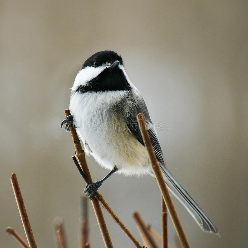 Chickadee black capped, Poecile atricapillus, perched on twigs royalty free stock images