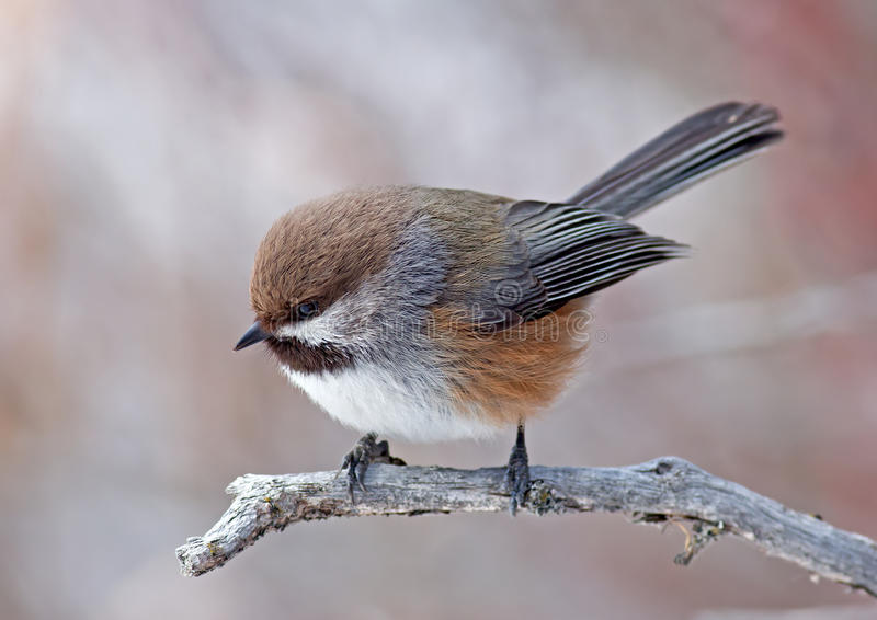 Chickadee boréal images stock
