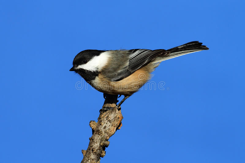 Chickadee On A Branch Stock Images