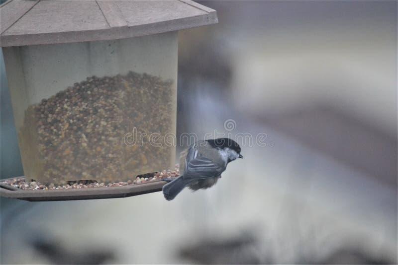 Chickadee capsulado negro imagen de archivo libre de regalías