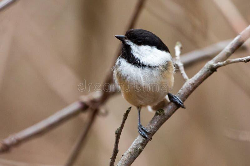 Chickadee capsulado negro de los pequeños pájaros minúsculos del pájaro de la fauna de la fauna fotografía de archivo libre de regalías