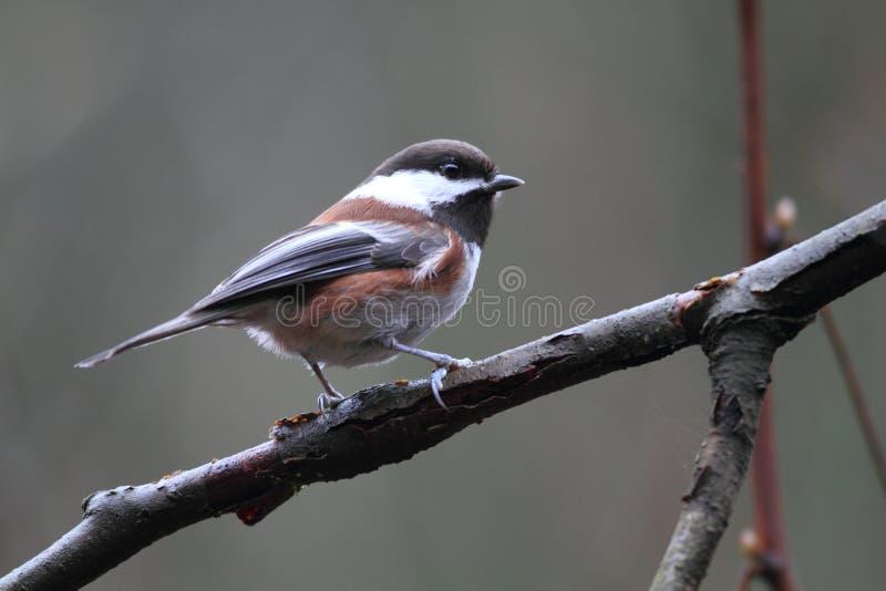 Chickadee Castanha-suportado imagens de stock royalty free