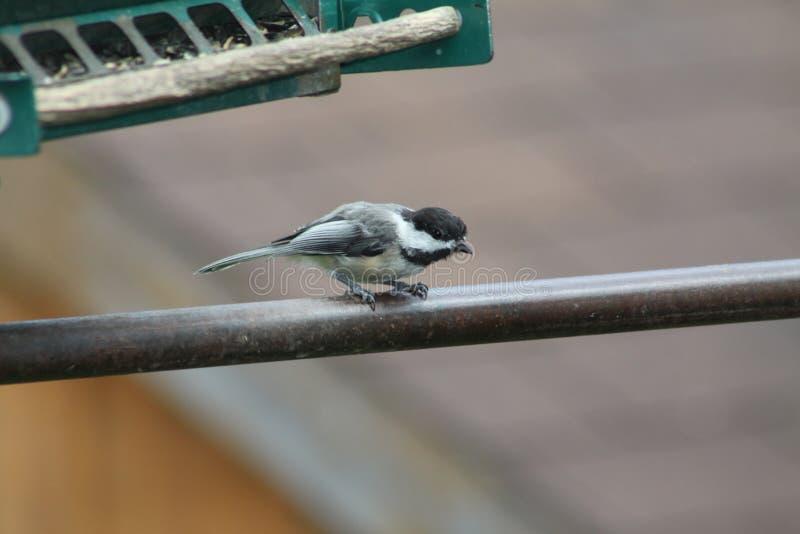 Chickadee, Czerni Nakrywającego Poecile atricapillus zdjęcie stock