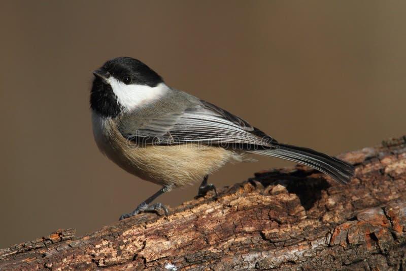 Chickadee de Carolina em um ramo imagens de stock