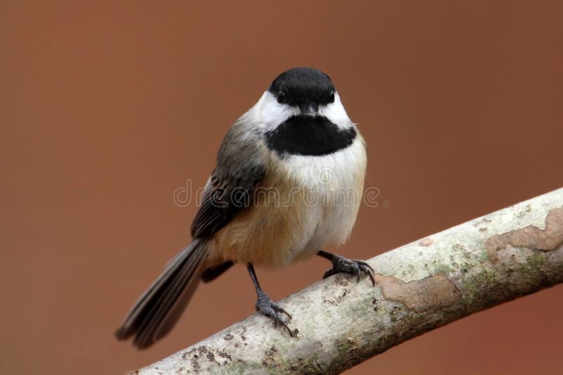 Chickadee de Caroline sur un branchement photo stock