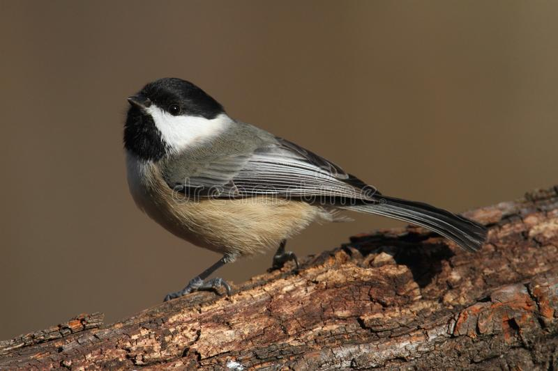 Chickadee de Caroline sur un branchement images stock
