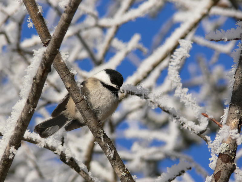 Chickadee in de winter stock afbeeldingen